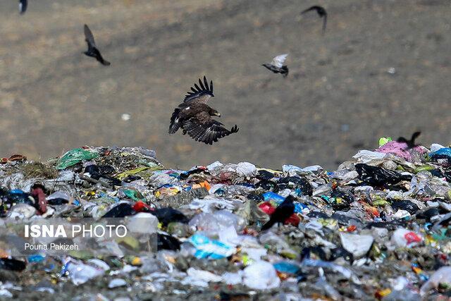 تشریح علت مرگ زودهنگام بعضی پرندگان شکاری در همدان